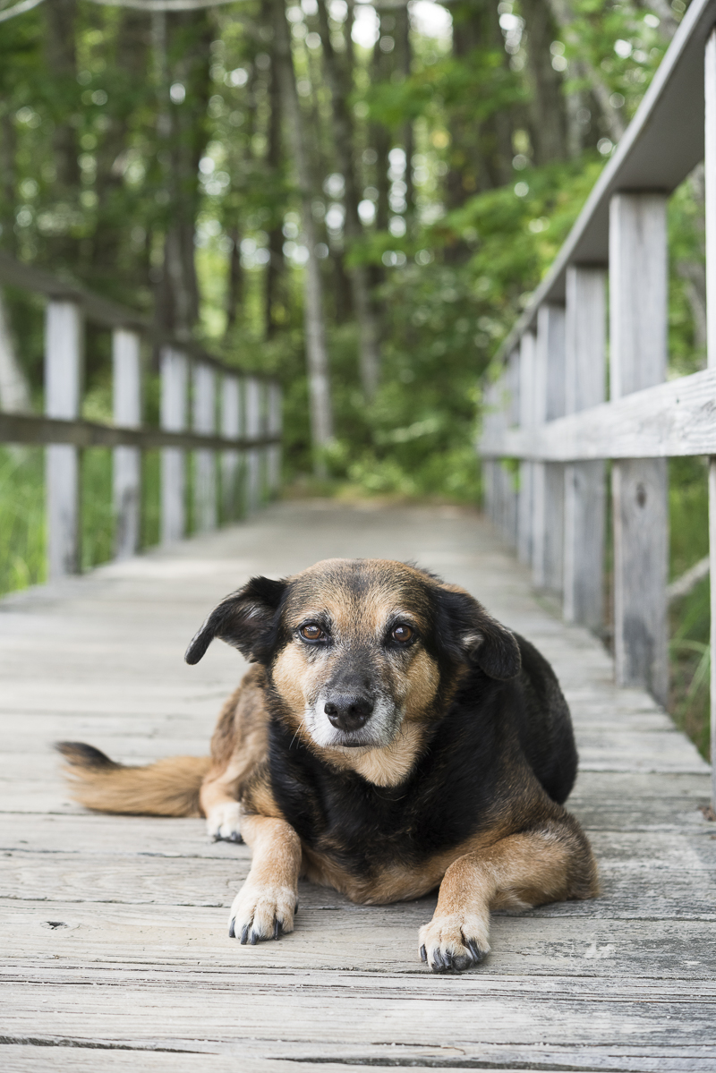 shepherd mix on boardwalk, Rachel Carson Nature Center, ©Alice G Patterson Photography | Kennebunk, Maine, lifestyle dog photographer