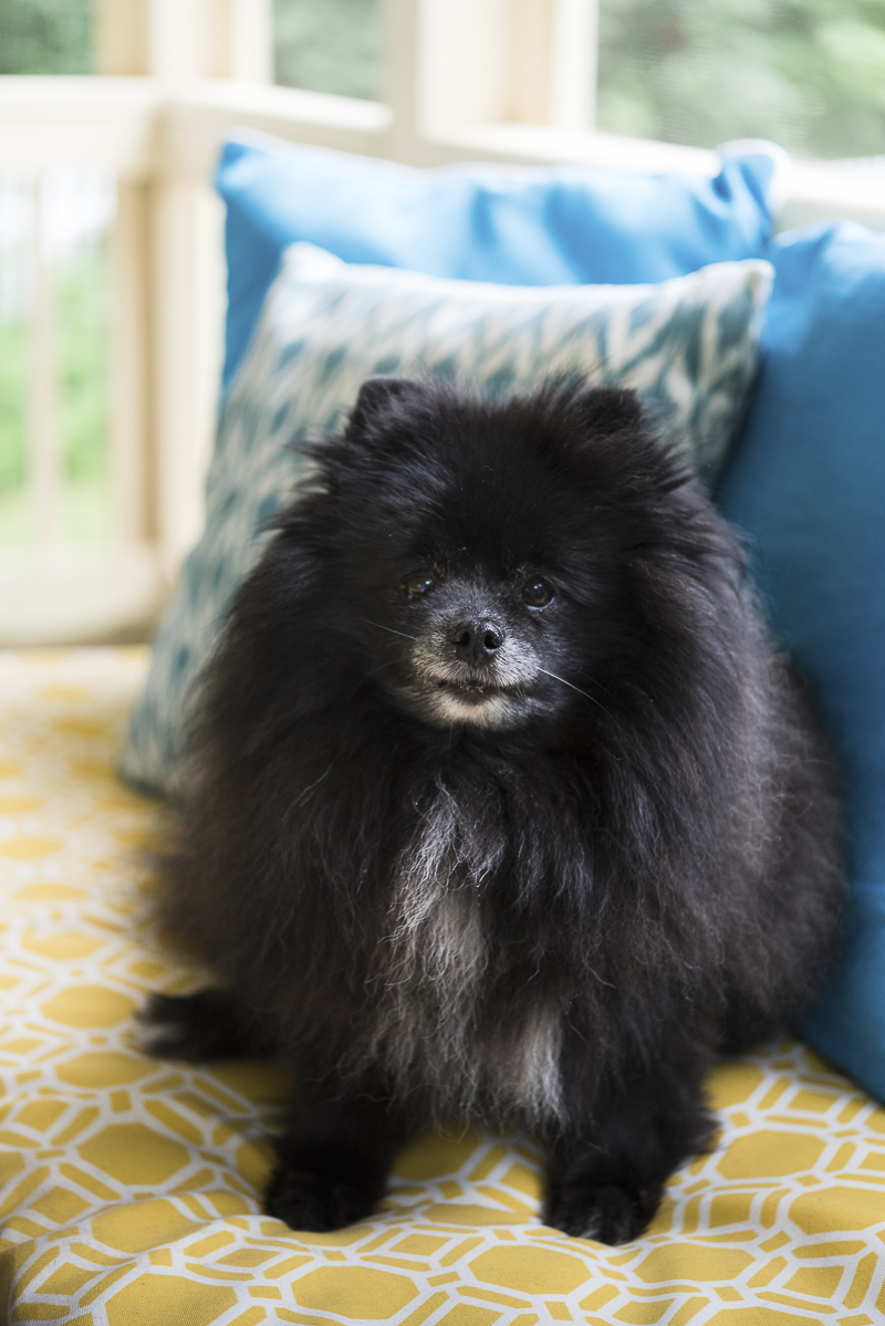 dogs on furniture, black Pomeranian on yellow cushion, ©Alice G Patterson Photography | Kennebunk, Maine, lifestyle dog photographer