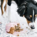 Focus:  Charlotte the Mini Aussie's First Birthday