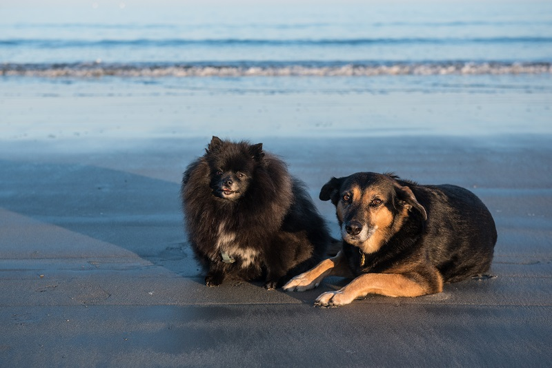 Pomeranian and Shepherd on beach, dog-friendly beach, Maine, ©Alice G Patterson Photography | Kennebunk, Maine, lifestyle dog photographer