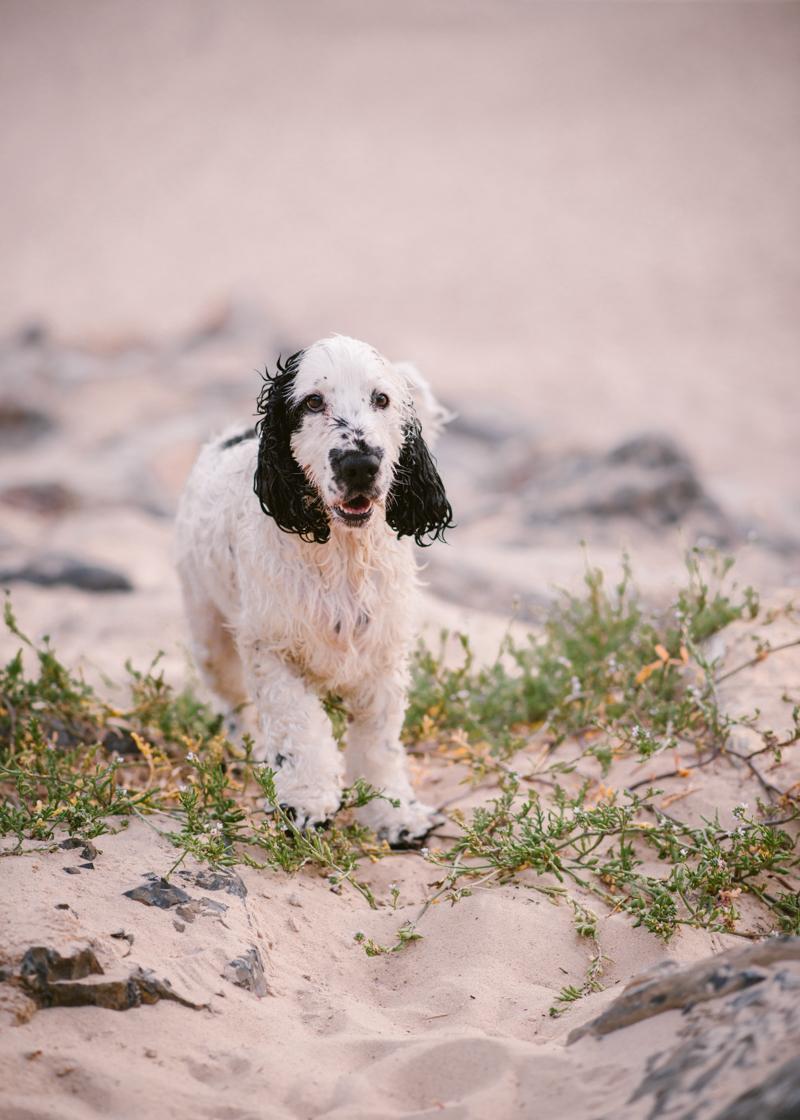 wet black and white Cocker Spaniel on beach, Adelaide lifestyle dog photography, © Bitsa Bernard Photography