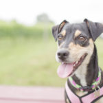 Engaging Tails:  Zoey the Min Pin-Terrier Mix
