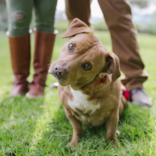 Engaging Tails:  Alexander the Great Staffy-Basset Mix