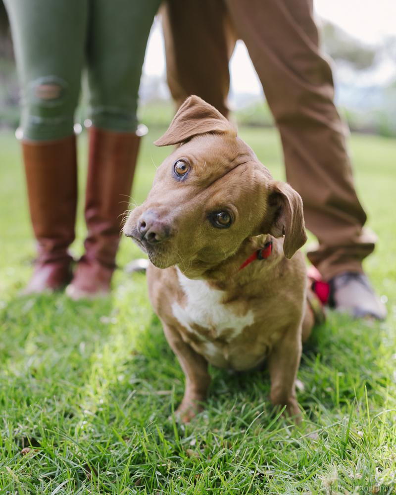 Staffy-Basset mix | ©Aurelia D'Amore Photography lifestyle dog photography