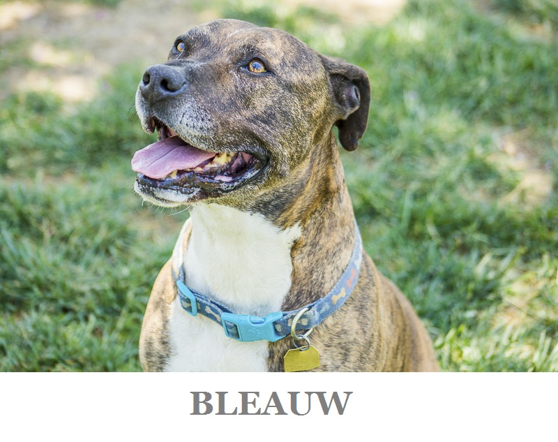 Handsome Staffy mix | | Adoptable dogs from C.A.R.L. ©Kiernan Michelle Photography