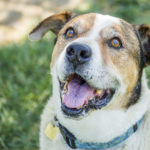Adopt Me:  Canine Adoption Rescue League (C.A.R.L.) Dogs