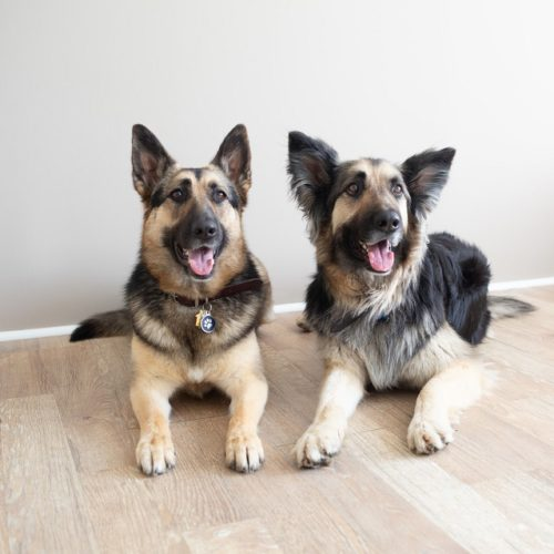 Happy Tails:  Nittany and Hyperbole the GSDs