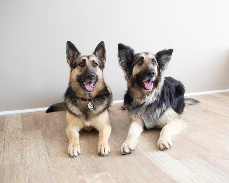 GSDs, German Shepherds, studio dog photography | ©Ivory Tree Portraits
