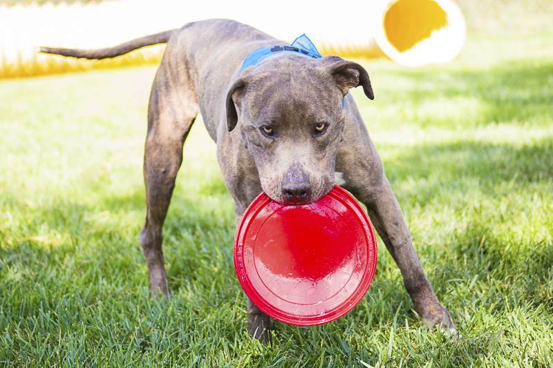 Adoptable dog with red frisbee | photographer giving back | Adoptable dogs from C.A.R.L. ©Kiernan Michelle Photography
