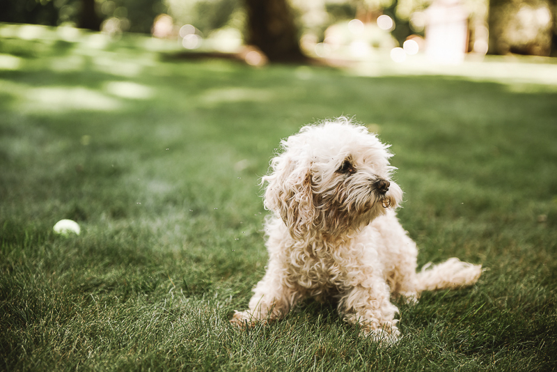 fluffy senior dog | ©Mei Lin Barral Photography New England lifestyle dog photography