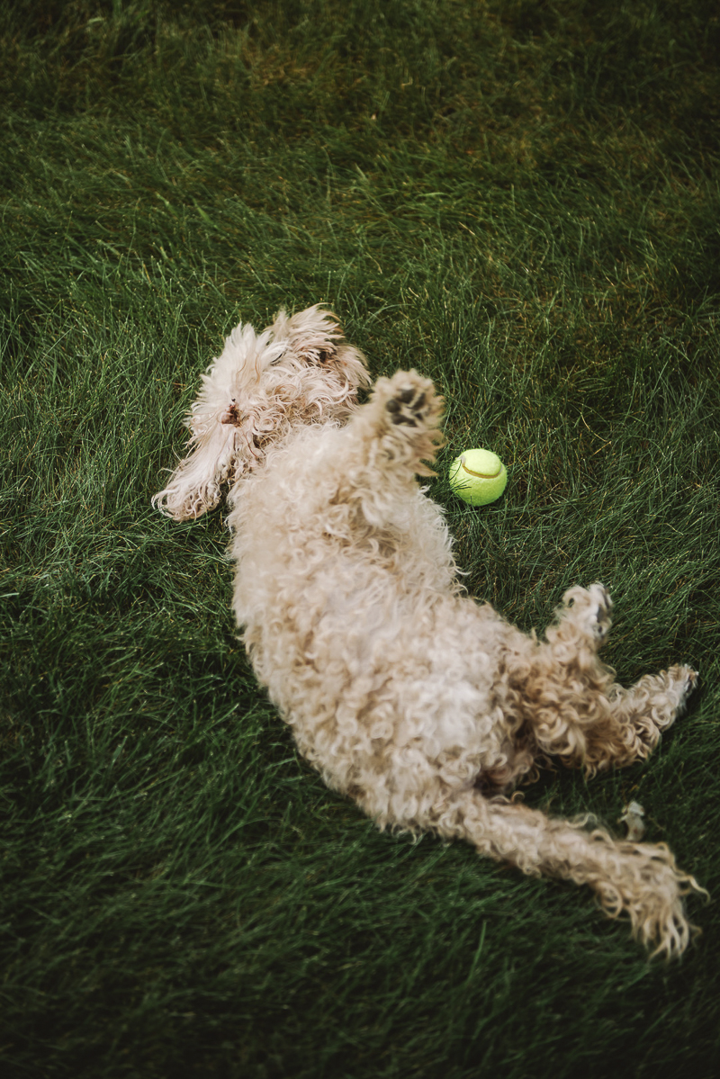 senior dog rolling in grass with tennis ball senior dog | ©Mei Lin Barral Photography Vermont on location dog photography