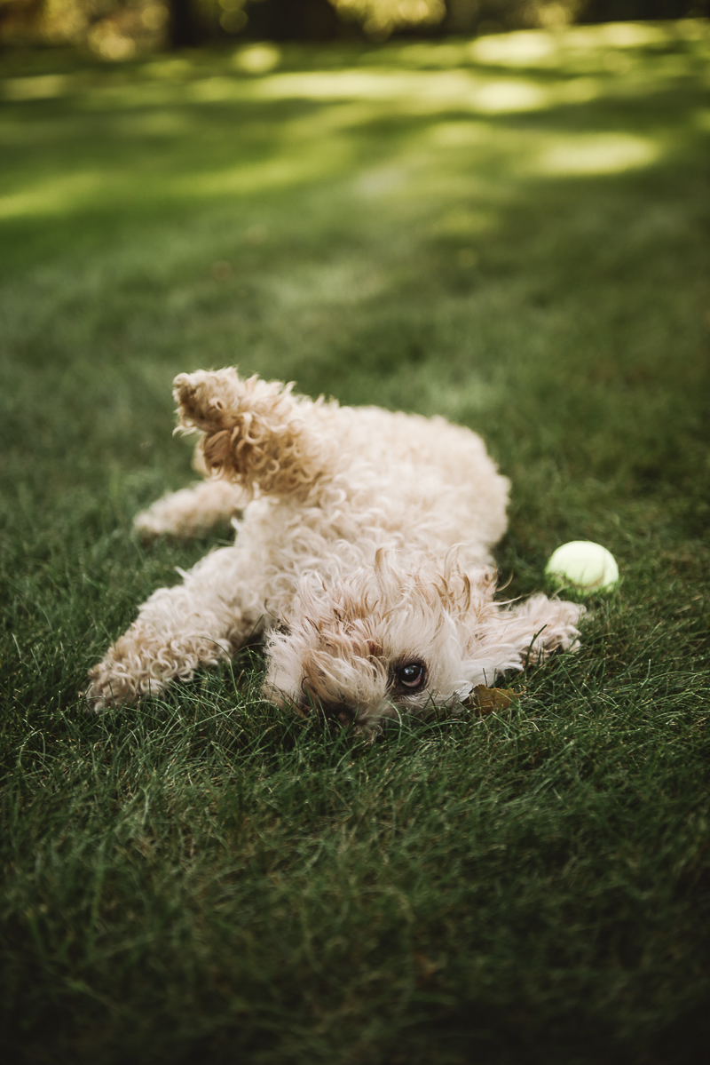dog rolling in grass | ©Mei Lin Barral Photography Vermont lifestyle dog photography