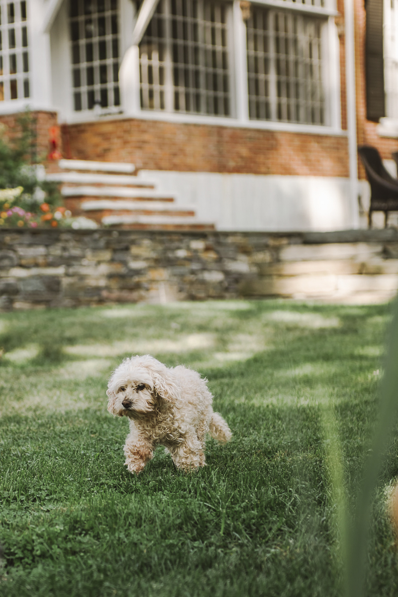 senior dog | ©Mei Lin Barral Photography Vermont lifestyle dog photography
