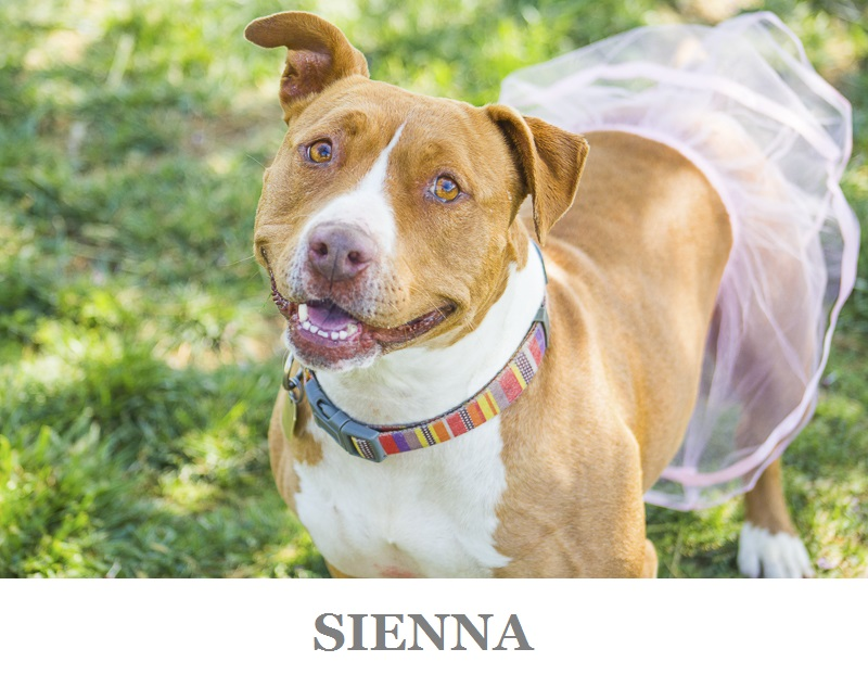 cute ginger Staffy mix   Adoptable dogs from C.A.R.L. ©Kiernan Michelle Photography