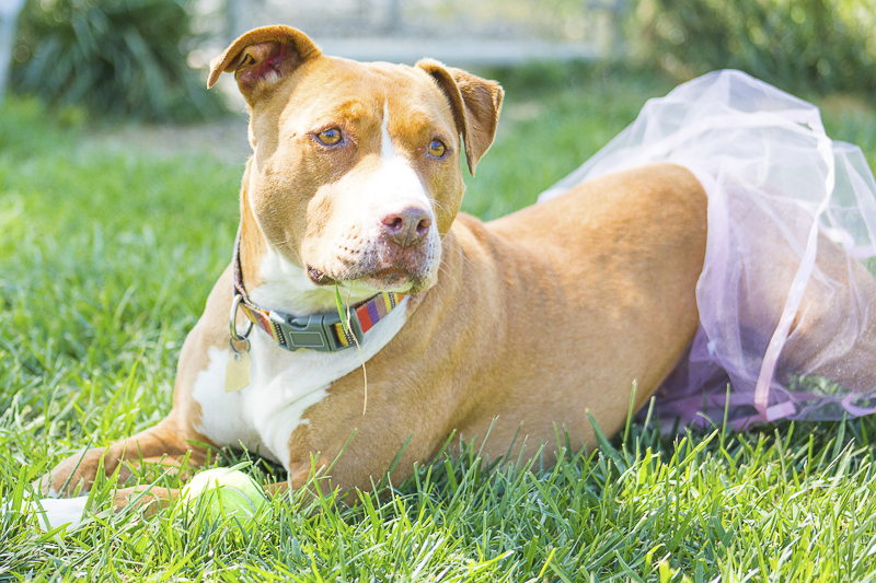 sweet ginger staffy mix waiting for forever home   Adoptable dogs from C.A.R.L. ©Kiernan Michelle Photography