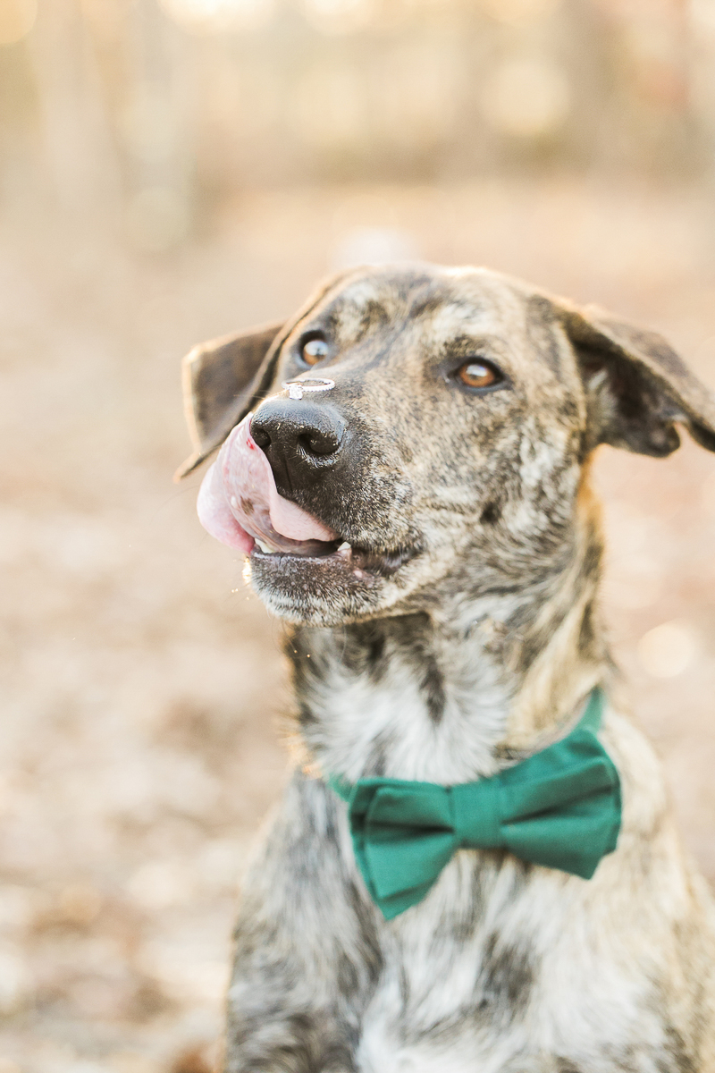 handsome dog with tongue out, ©Sidney Leigh Photography | dog friendly engagement session