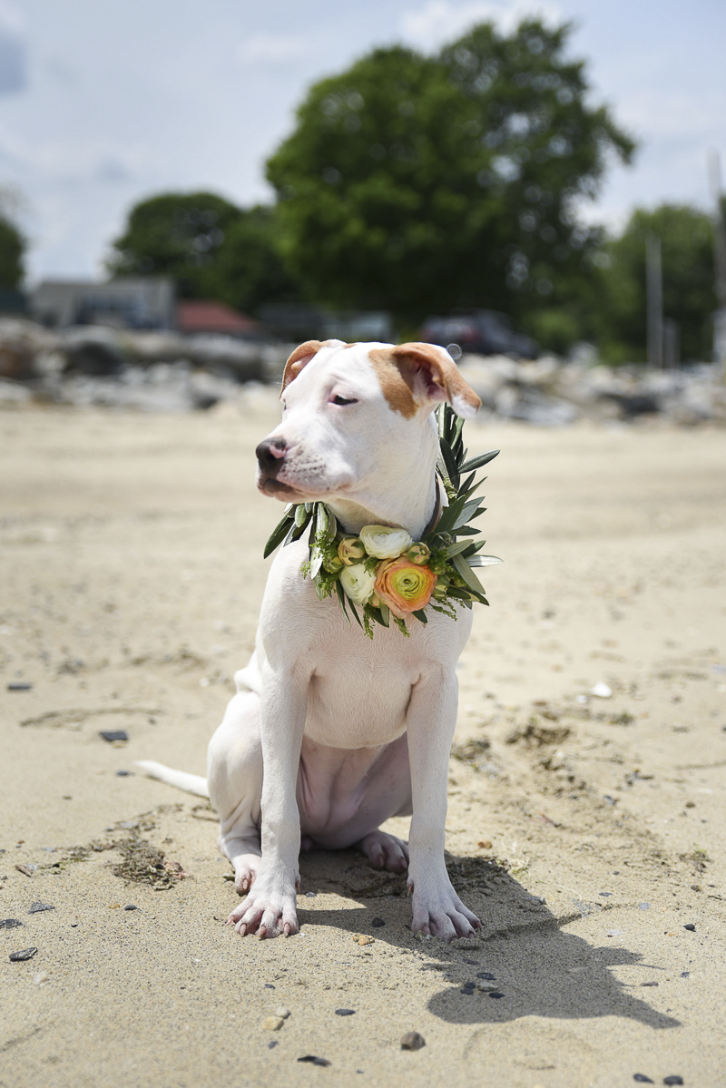 beautiful pit bull terrier wearing floral wreath, beach dog Lifestyle dog photography ©Simply Perfect Photography