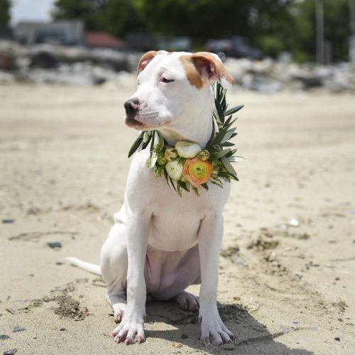 Puppy Love:  Rosie the Pit bull Terrier Mix