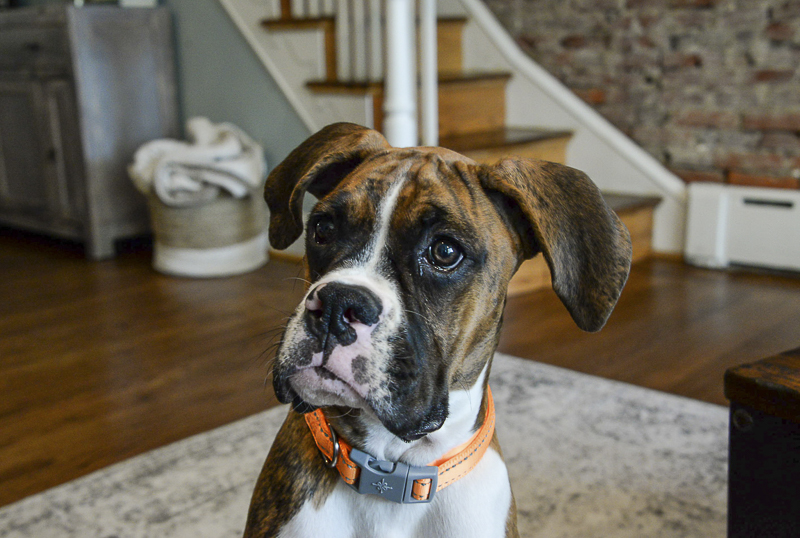 Boxer puppy at home | ©The Photo People | Philadelphia lifestyle dog photography