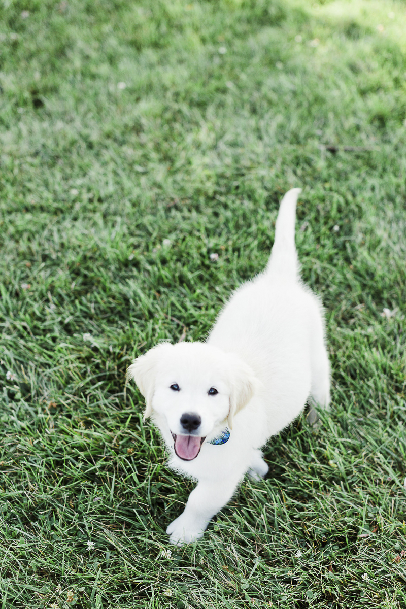 11 week old English Cream Golden Retriever Puppy | ©Victoria Hunt Photography | Indiana lifestyle dog photography