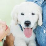 Puppy Love:  Nash the English Cream Golden Retriever