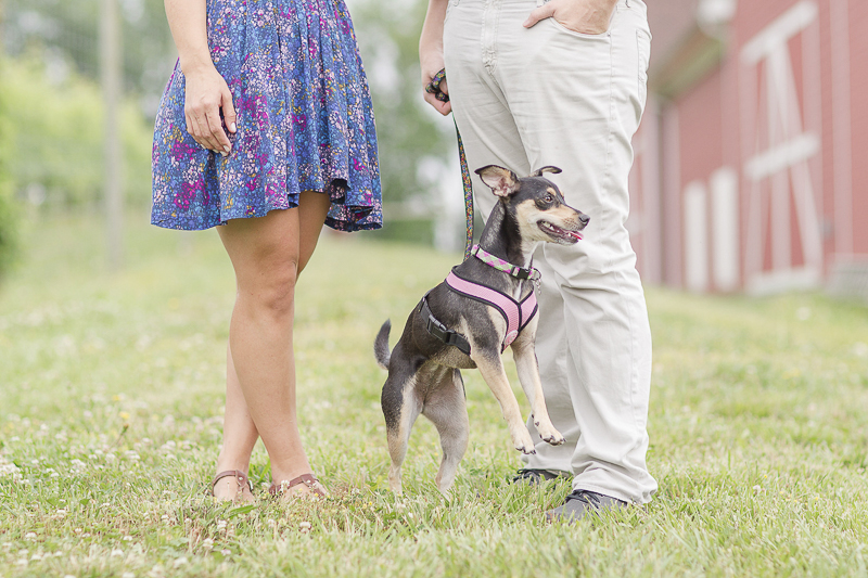 energetic min pin mix, ©Anna Grace Photography | dog friendly engagement photos