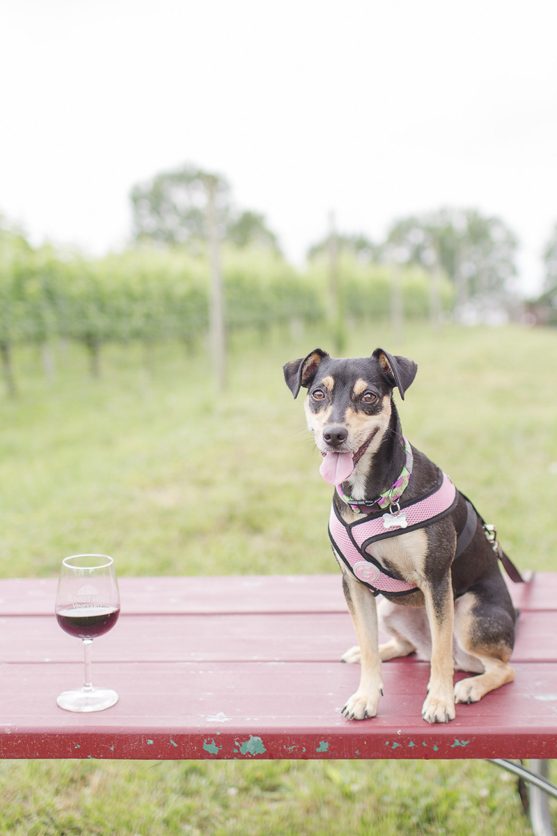 dog sitting on picnic table next to glass of wine, ©Anna Grace Photography, dog friendly winery