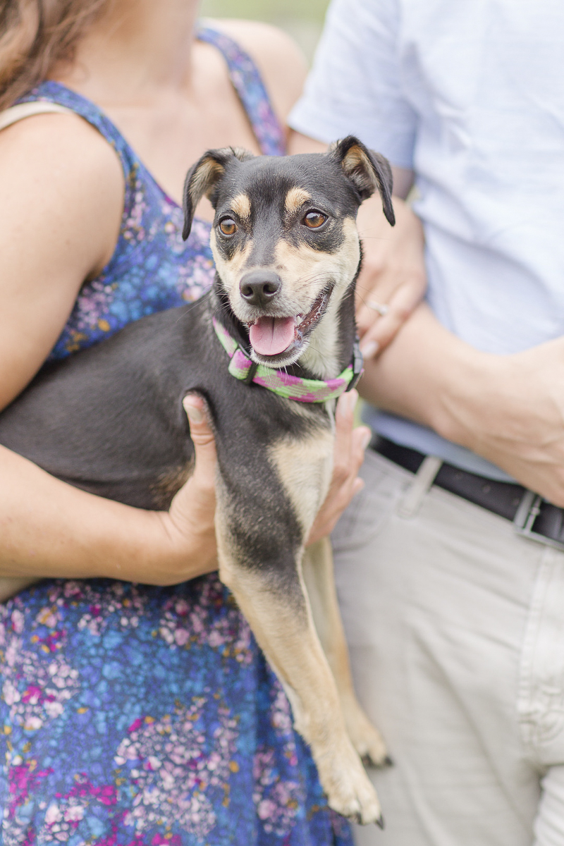 adorable Min Pin mix in woman's arms. how to include dogs in engagement photos, ©Anna Grace Photography | dog friendly engagement session