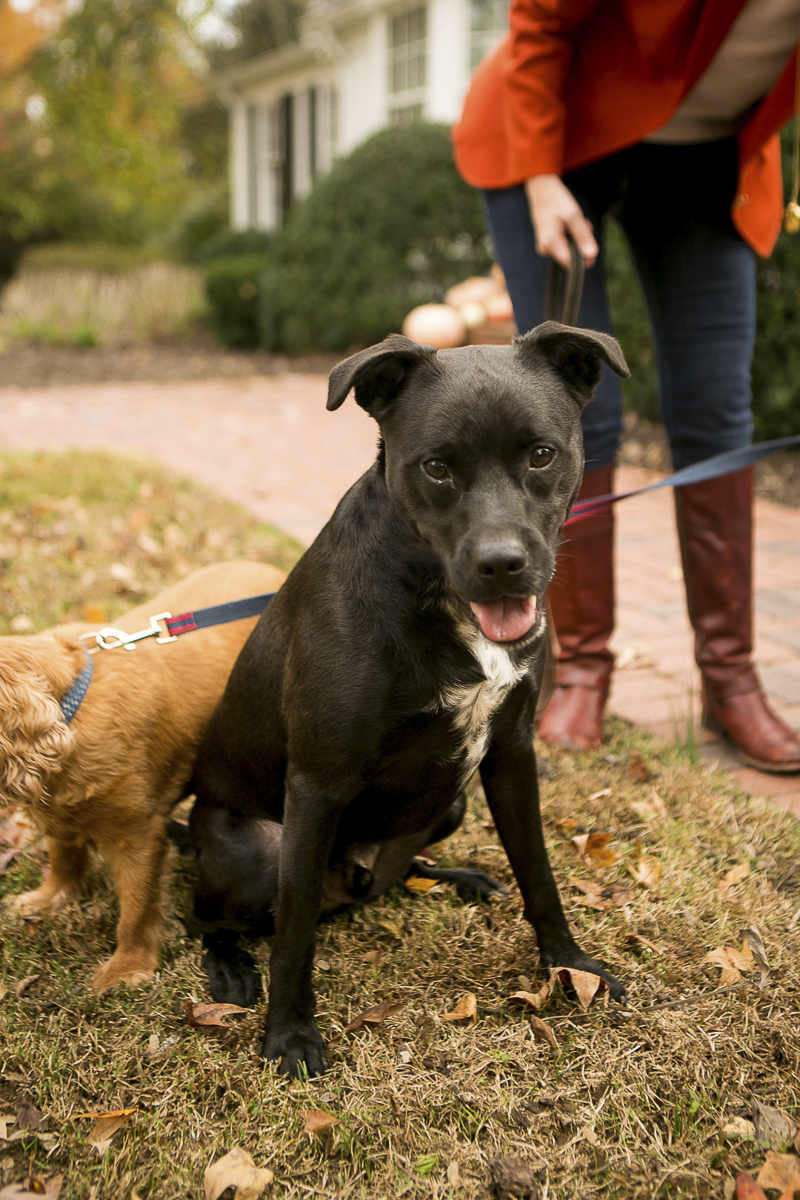black mixed breed dog, Nashville lifestyle dog photography, ©Mandy Whitley Photography