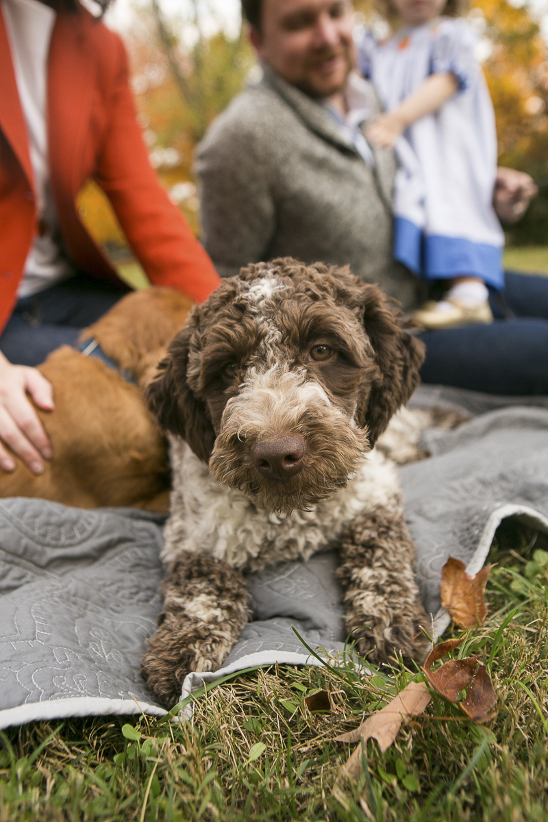 Lagotto Romagnolo puppy, ©Mandy Whitley Photography, Nashville dog photographer