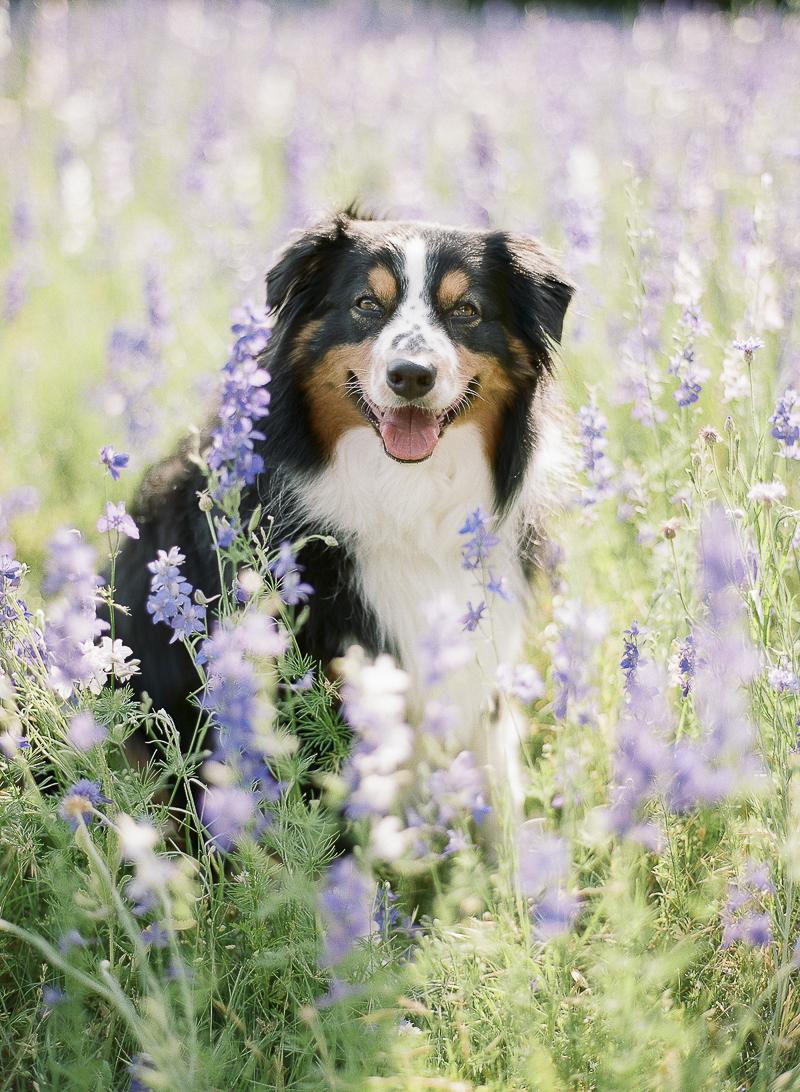 Australian Shepherd in field of flowers, lifestyle dog photography | ©The Ganeys