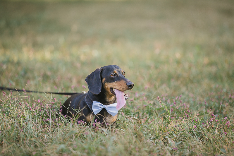 doxie wearing bow tie, ©Jamie Bodo Photography | New Brunswick, NJ, dog-friendly engagement photos