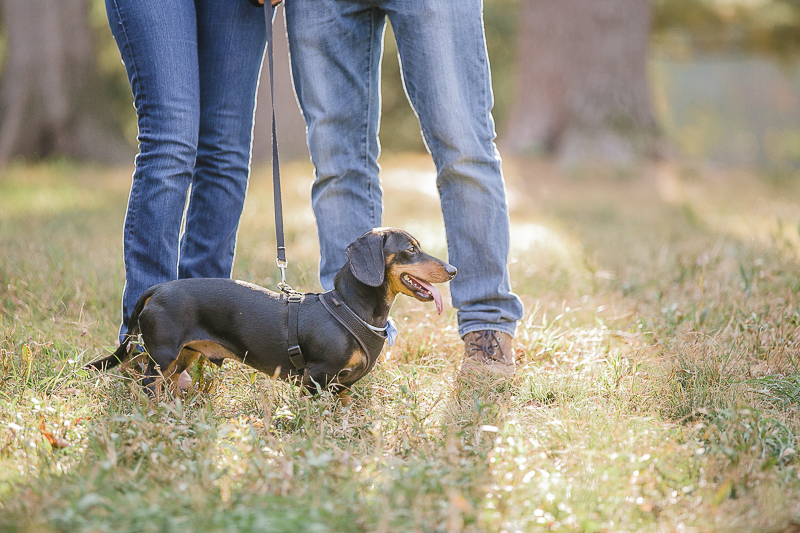 profile of black and tan Dachshund in grass, ©Jamie Bodo Photography | New Brunswick, NJ, dog-friendly engagement photos