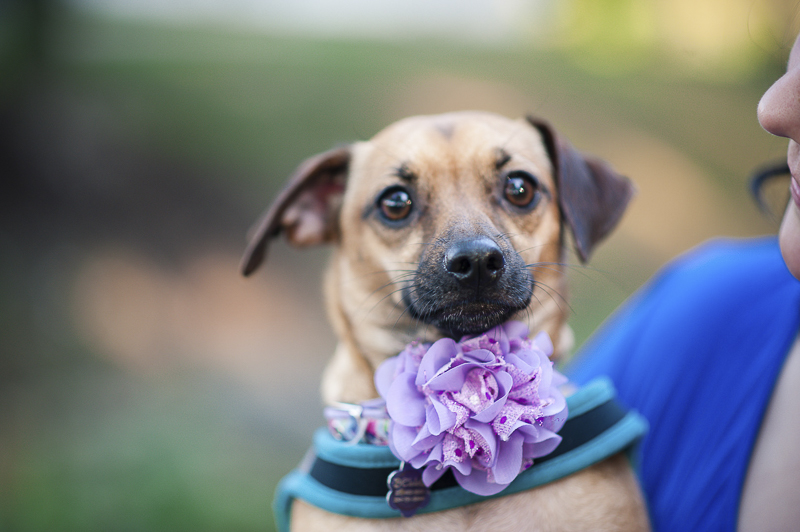 adorable Chiweenie with flower collar, Maryland lifestyle dog photographer ©Nina K Photography