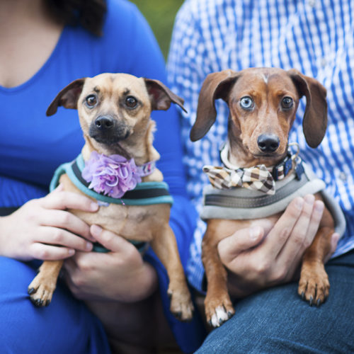 Happy Tails:  Belle the Chiweenie & Bentley the Dachshund