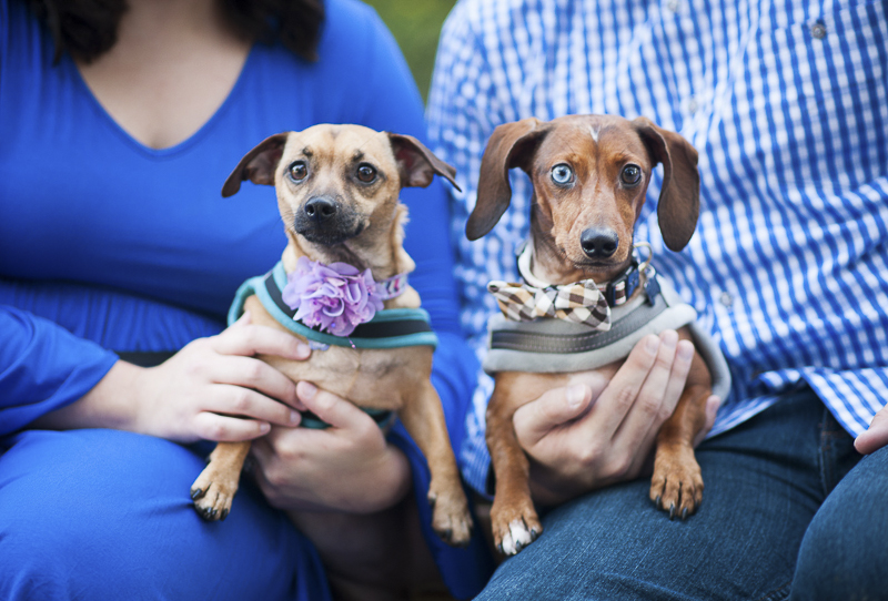 Chiweenie and Dachshund, dog friendly family photos, Maryland lifestyle dog photographer ©Nina K Photography