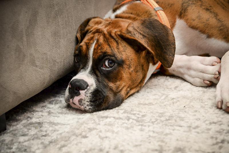 dog lying on floor | Philly lifestyle dog photography