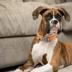 Puppy Love:  Pita the Boxer At Home