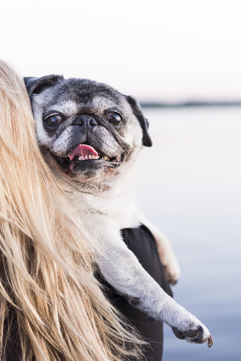 Pug looking over shoulder, Onondaga Lake Park, ©Alice G Patterson Photography lifestyle dog photography