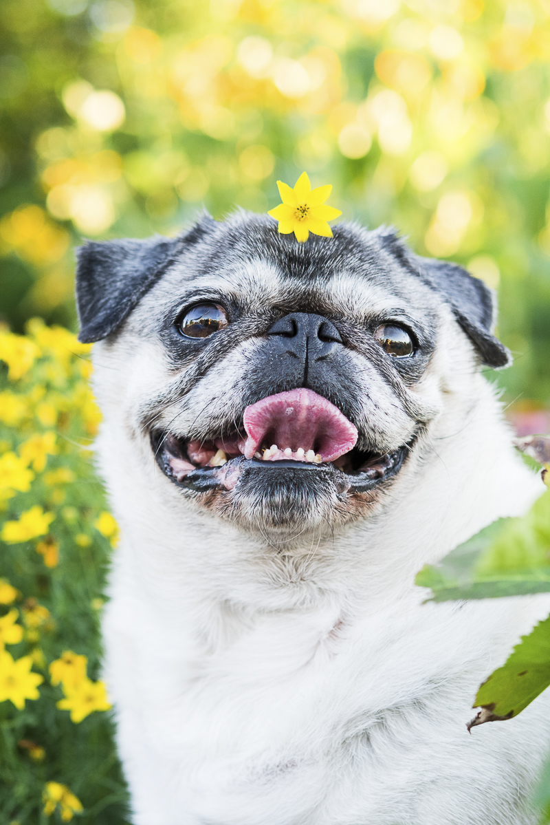 adorable Pug with yellow flower on her head | ©️Alice G Patterson Photography lifestyle dog photography