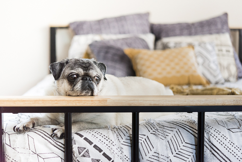 Tuesday the Pug resting her head, dogs on furniture, ©Alice G Patterson Photography | Best Syracuse dog photographer