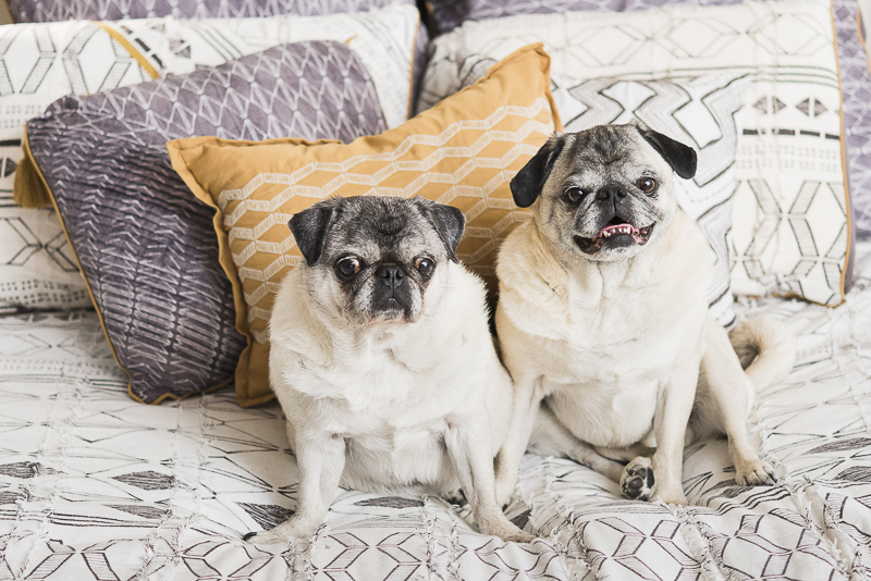 Two Pugs on a bed, Pug love, ©Alice G Patterson Photography CNY dog photographer