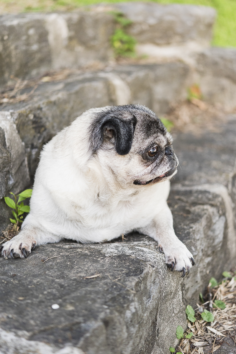 Pug lying on stone steps, ©Alice G Patterson Photography | Syracuse lifestyle dog photography