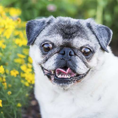 Happy Tails:  Tuesday the Pug In Syracuse, New York