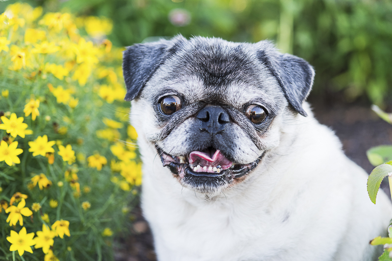 Tuesday the Pug, Syracuse dog photography | ©Alice G Patterson Photography