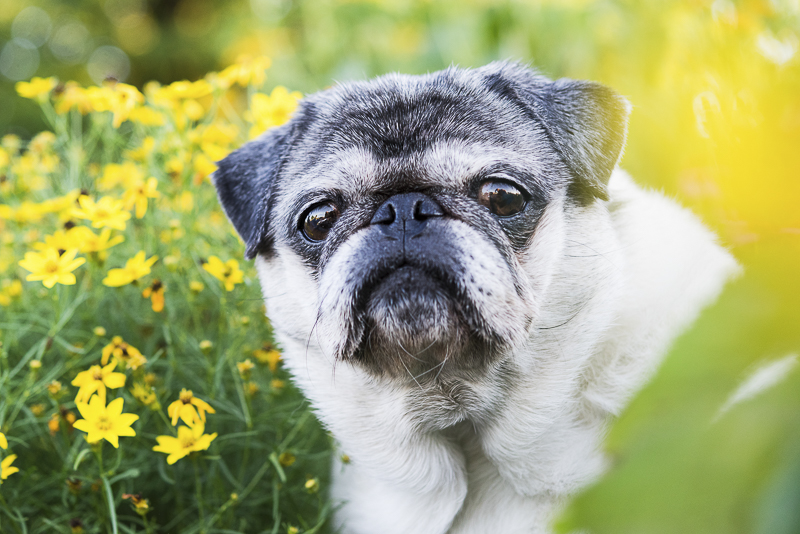 Cute Pug sitting in flowers, best Syracuse dog photographer