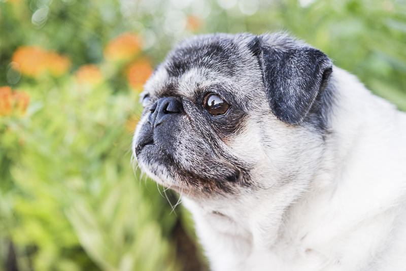 sweet senior Pug, gorgeous dog photography, ©Alice G Patterson Photography