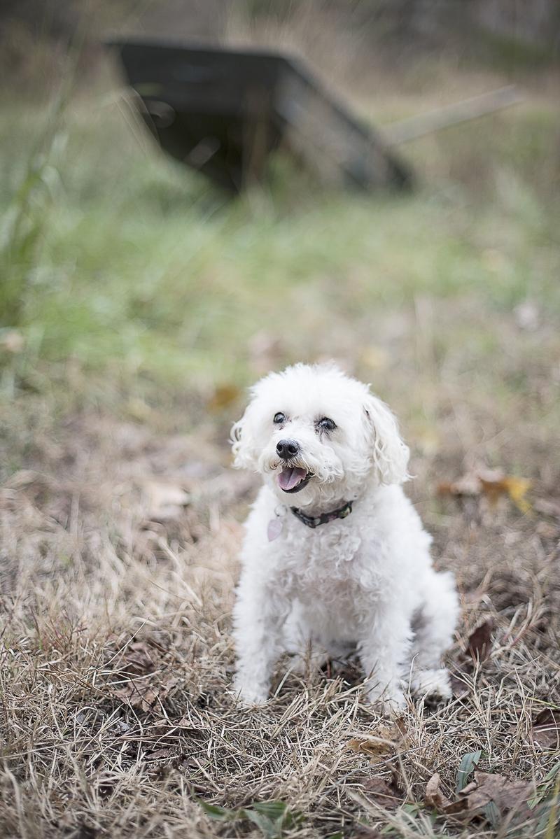 white mixed breed, Jackapoo, ©Alicia Hite Photography, North Carolina lifestyle dog photography
