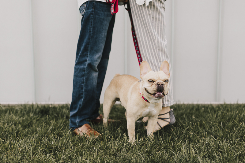 cute French Bulldog standing between couple, ©Alyssa Barletter Photography, KC lifestyle dog photography, engagement portraits