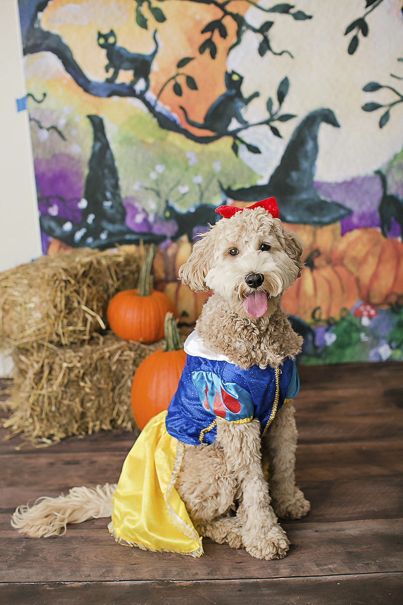 doodle wearing Snow White costume, Halloween costume ideas for dogs, Philadelphia pet photographer, April Ziegler Photography